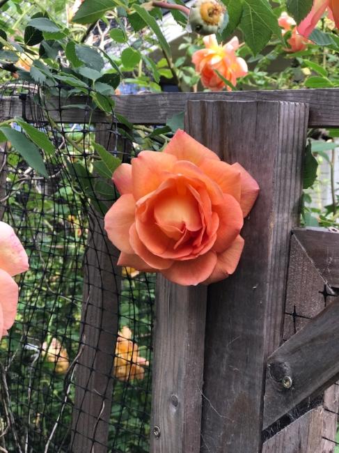 Urban Farm Heirloom Roses