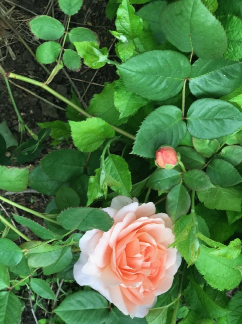 Urban Farm David Austen Roses