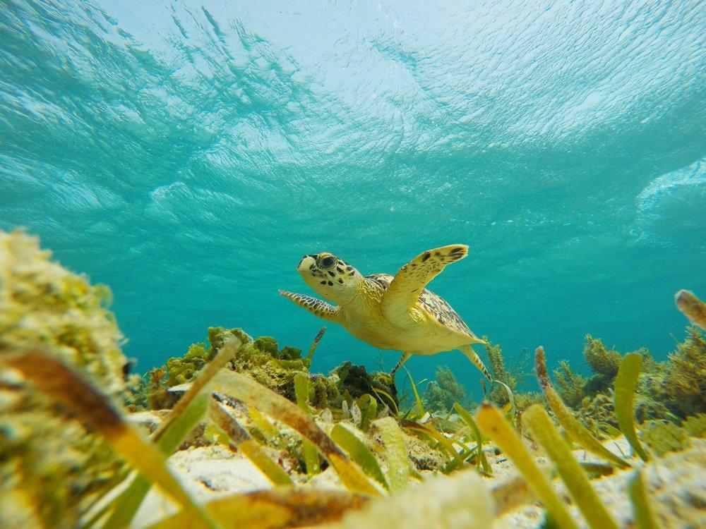 Juevenile+Sea+Turtle+.jpg