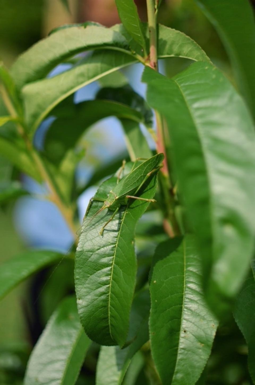 leaf-bug.jpg