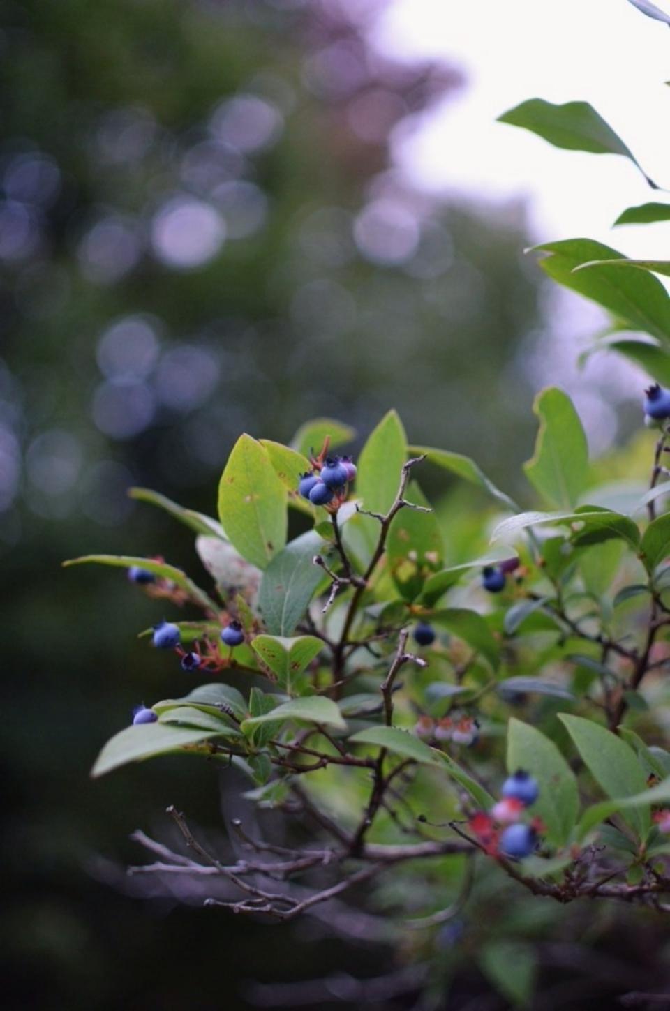 wild-blueberries.jpg