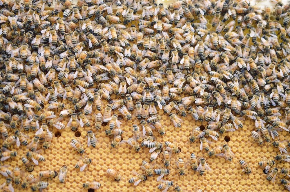 bees-brood