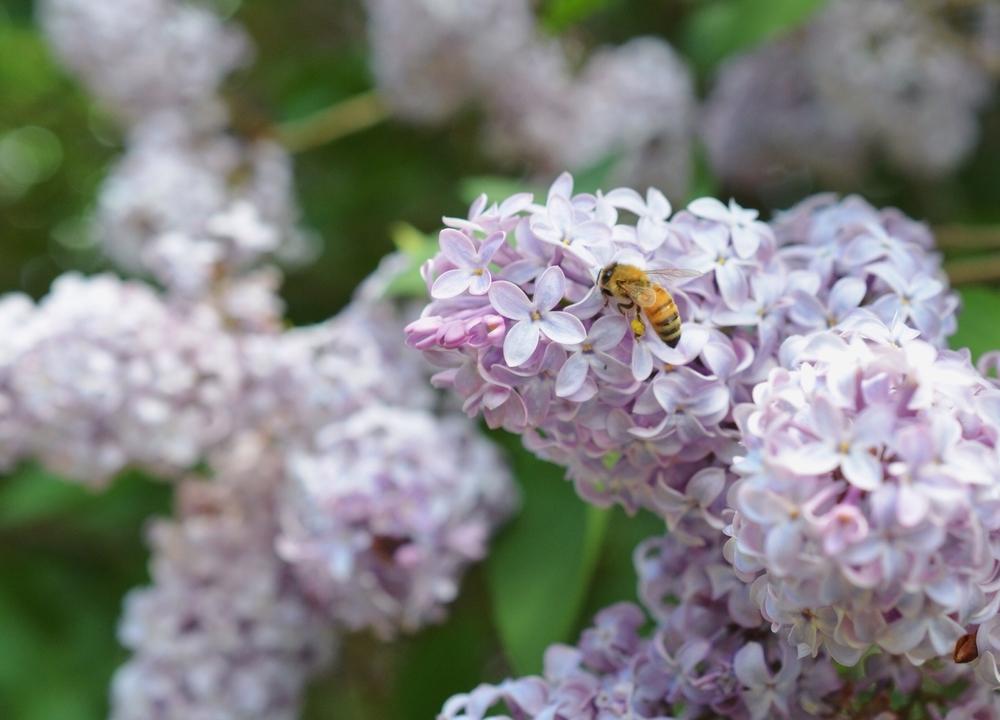 honeybee-lilacs.jpg