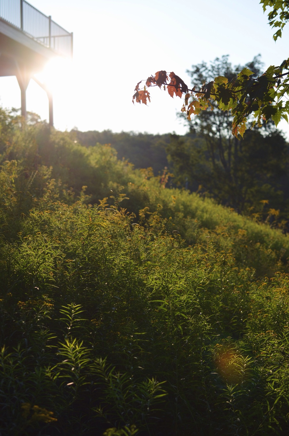 Goldenrod on the hill
