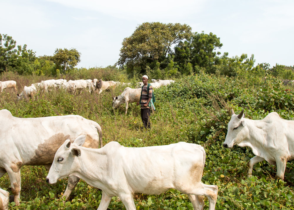 Sale Tambaya, a cattle herder in central Nigeria, grazes his cows. After his home state criminalized open grazing on November 1, he and his family fled with their livestock to a neighboring state where grazing is allowed. Two of his sons died on the journey.  (Tim McDonnell)
