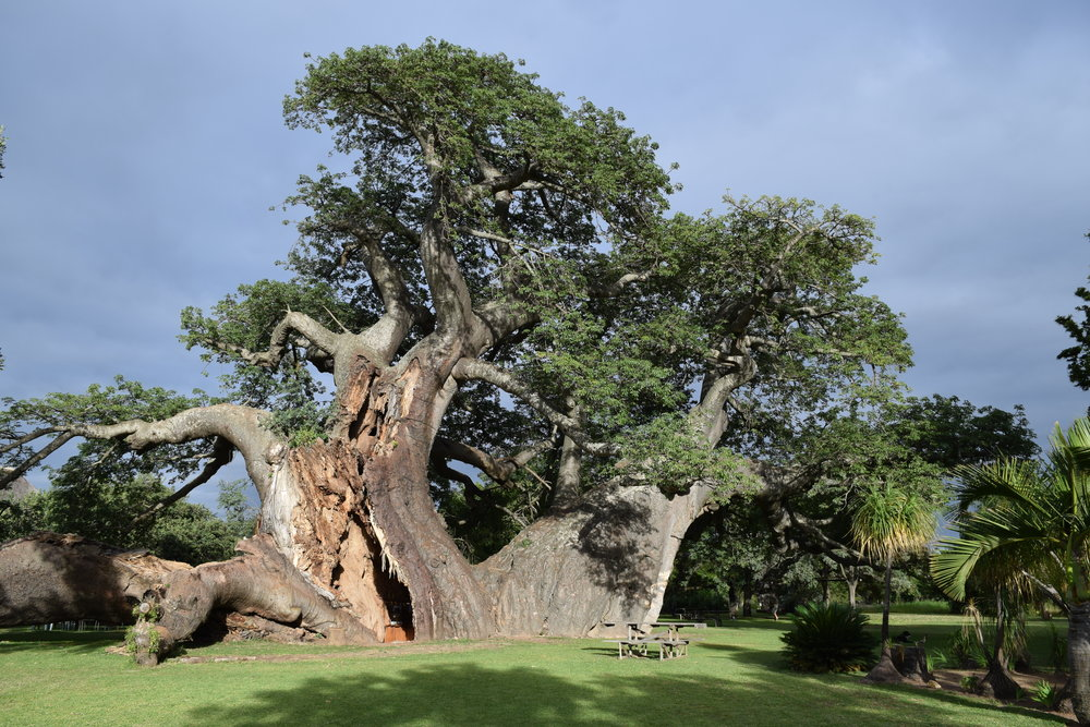 The Platland tree in South Africa was the home of a cocktail bar until it started to split apart. (Courtesy Adrian Patrut)