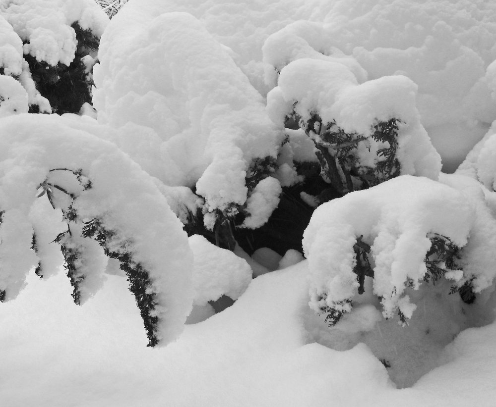 20171215-snow-on-bushes-jpg.jpg