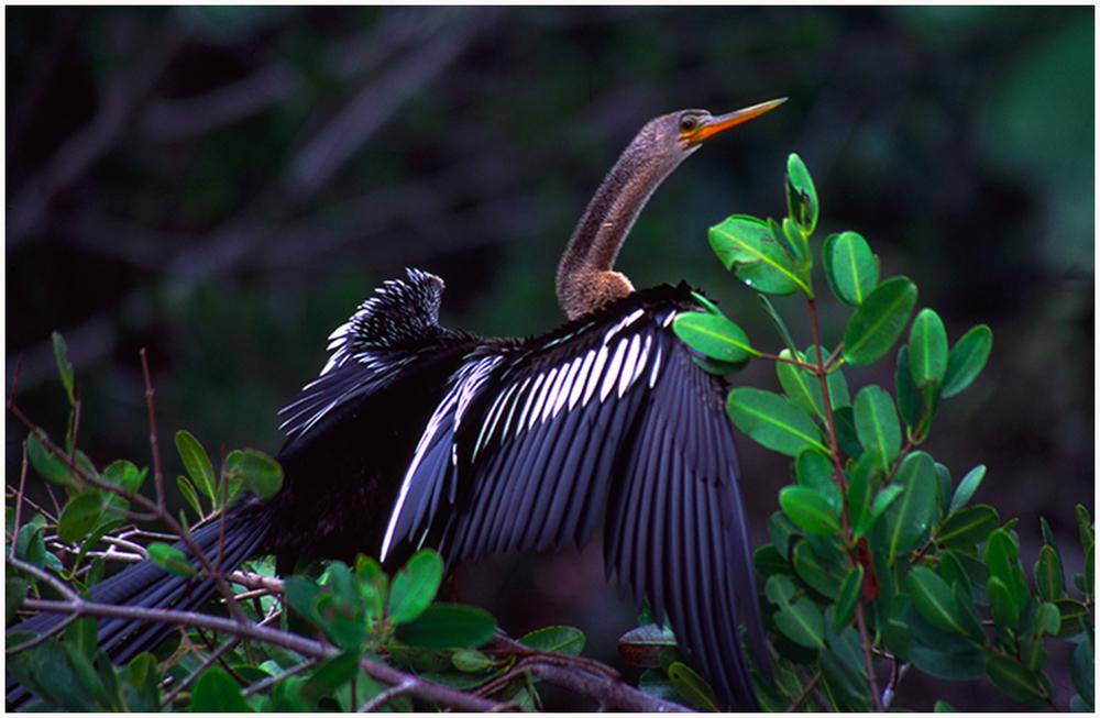 Anhinga, Ding Darling Wildlife Refuge, Floridaa