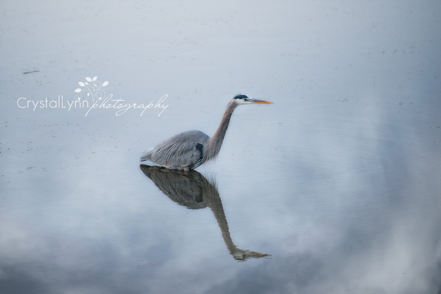 Project 52, The Blue Heron