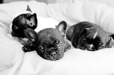 JEM French Bulldogs Southern Florida