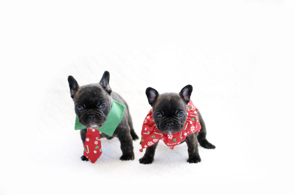 JEM Litter French Bulldog Puppies