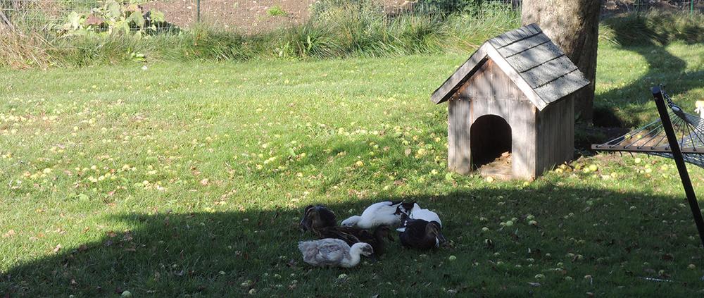 ducksdog2.jpg