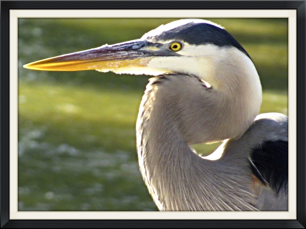 Fred the Great Blue Heron
