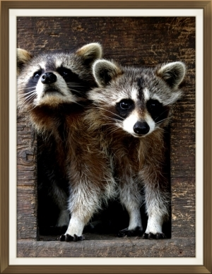 s-Little-mischievous-raccoons.jpg