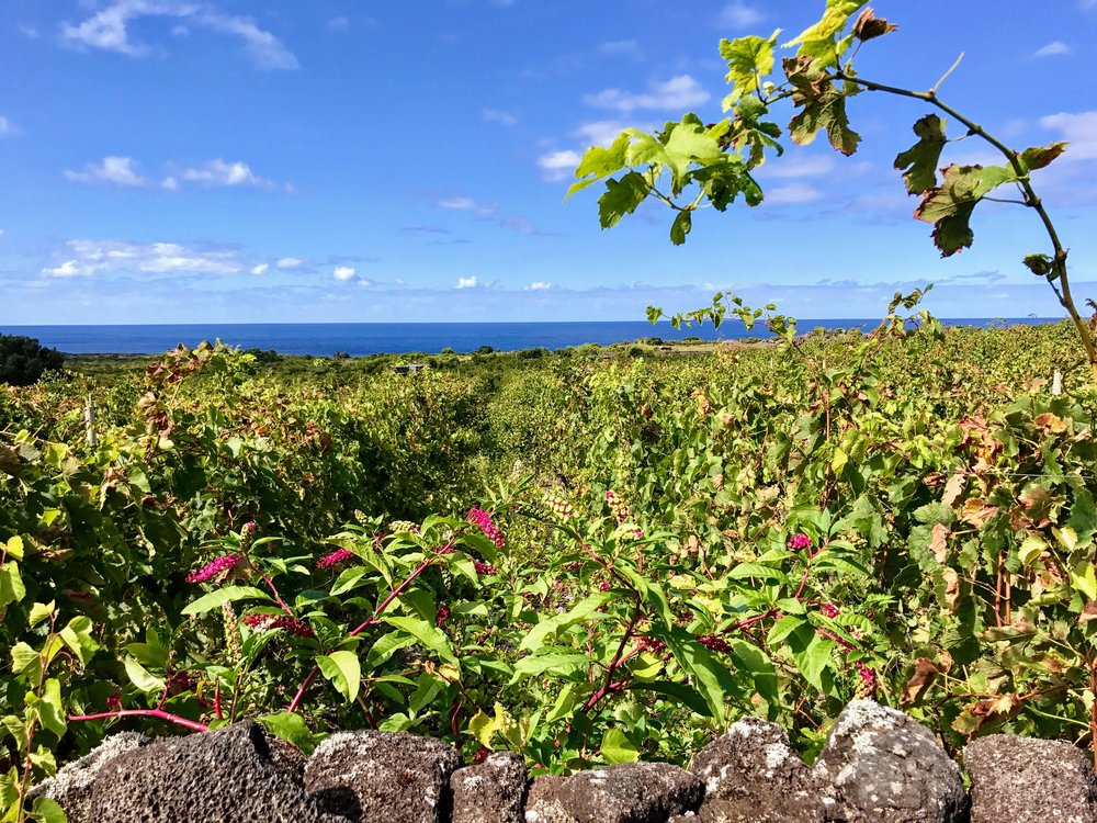The vineyards of Pico. Who knew vineyards would thrive on volcanic rock?!