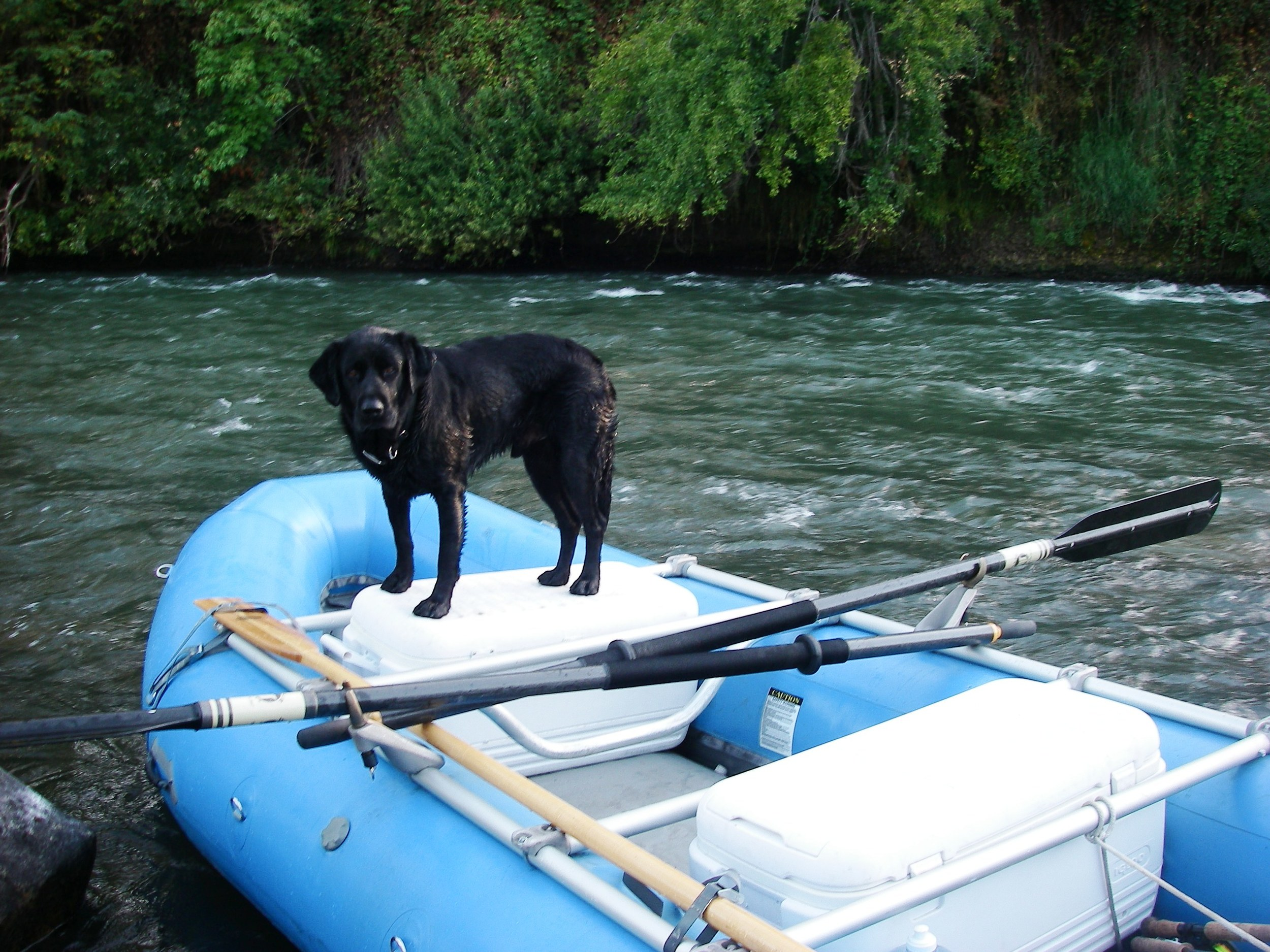 Bo poised for hot steelhead action.
