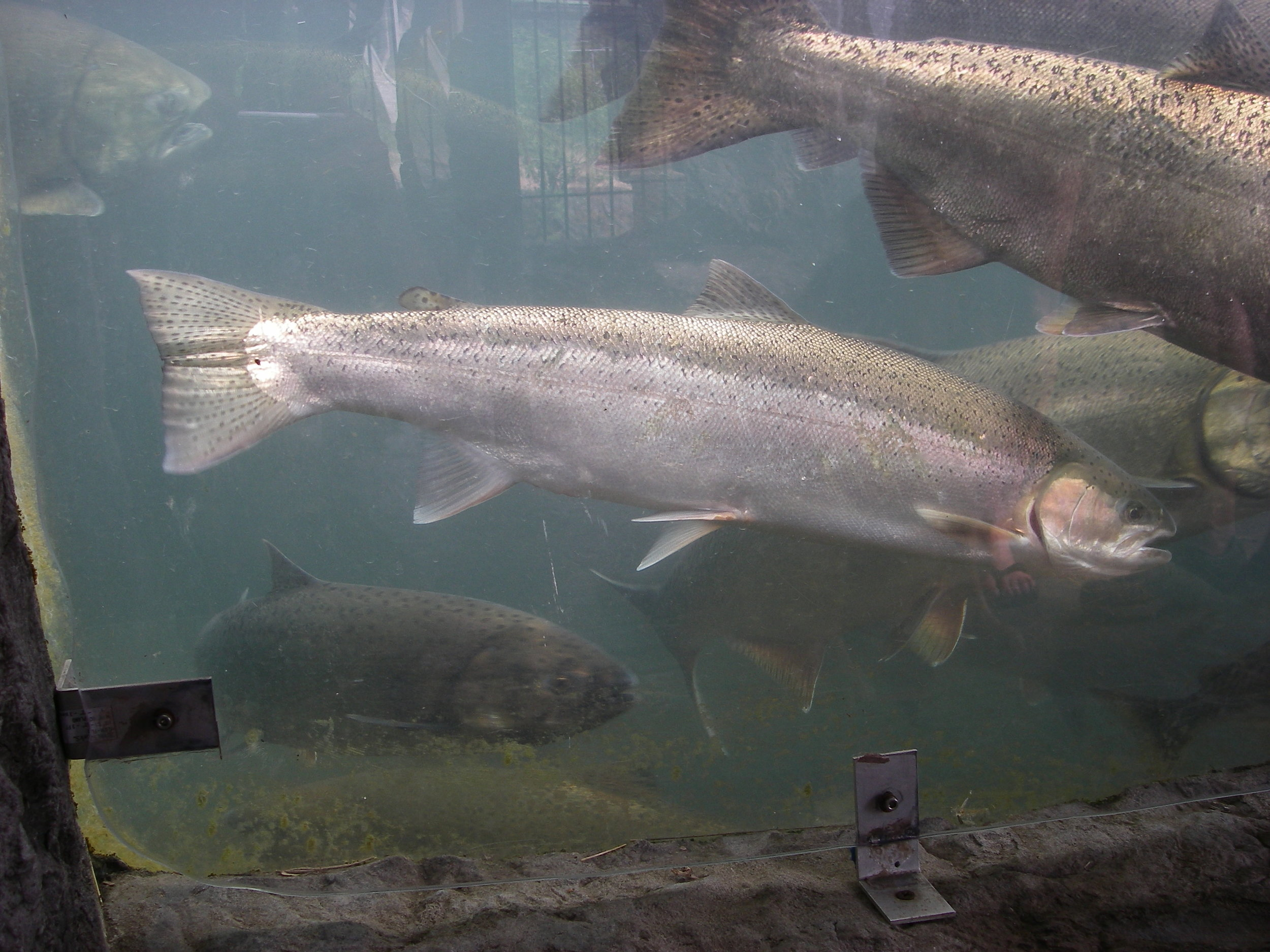 Wild steelhead amongst chinook