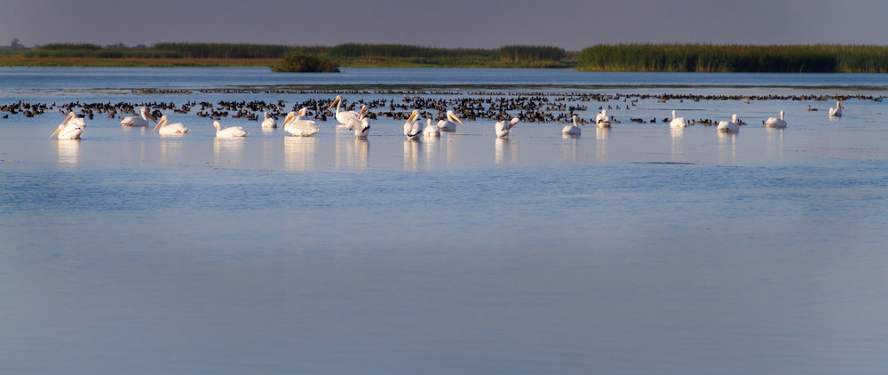 White Pelicans in the Louisiana Marsh