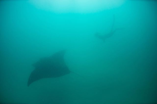 Ningaloo Reef always seems to deliver, first day back from the Arctic and we're out with a giant, black morph manta. The visibility wasn't great but I'm happy. I finally had a few days at home with @t_simpkins in Exmouth. It was lovely but too short a stay.