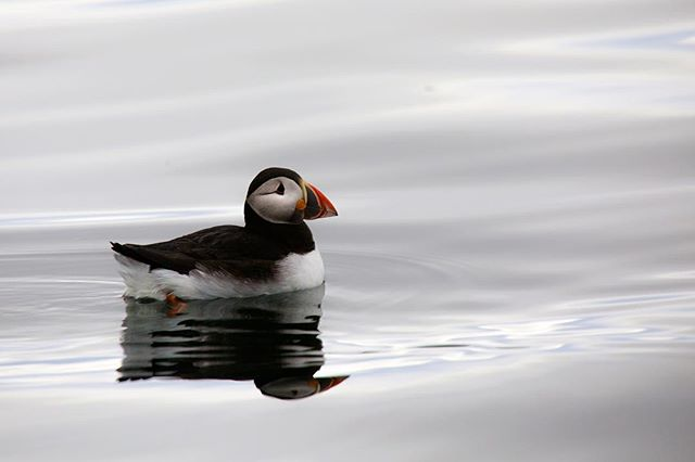 An Atlantic puffin swimming along in the Westfjords. This was taken while on a trip circumnavigating Iceland on the National Geographic Explorer last summer—not to puff myself up or anything, but bouncing between Alaska and here a couple times last summer gave me the opportunity to see all three puffin species within the span of a month. #prettyneat #natgeoexpeditions