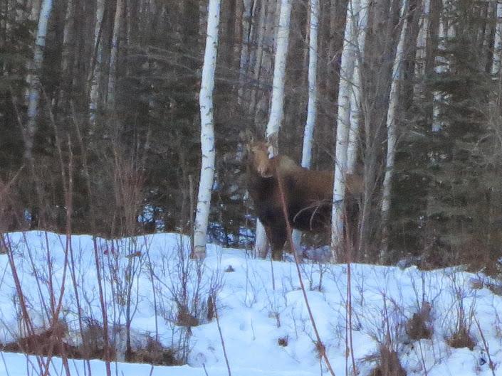 Spectator Moose.JPG