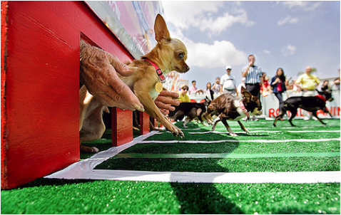 Photo credit: http://www.arizonafoothillsmagazine.com/images/stories/april13/Family/May_3_2013/2-Chihuahua-Races-Pinterest.png