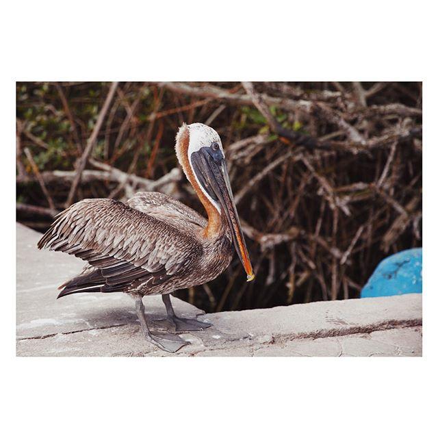 Los pelícanos #galapagos #pelican