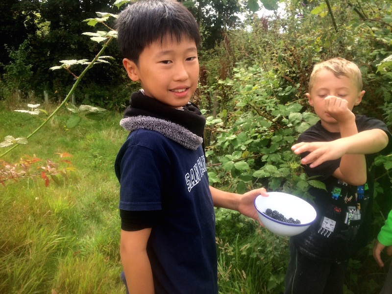 picking blackberries for apple and blackberry crumble cooked in the cob oven
