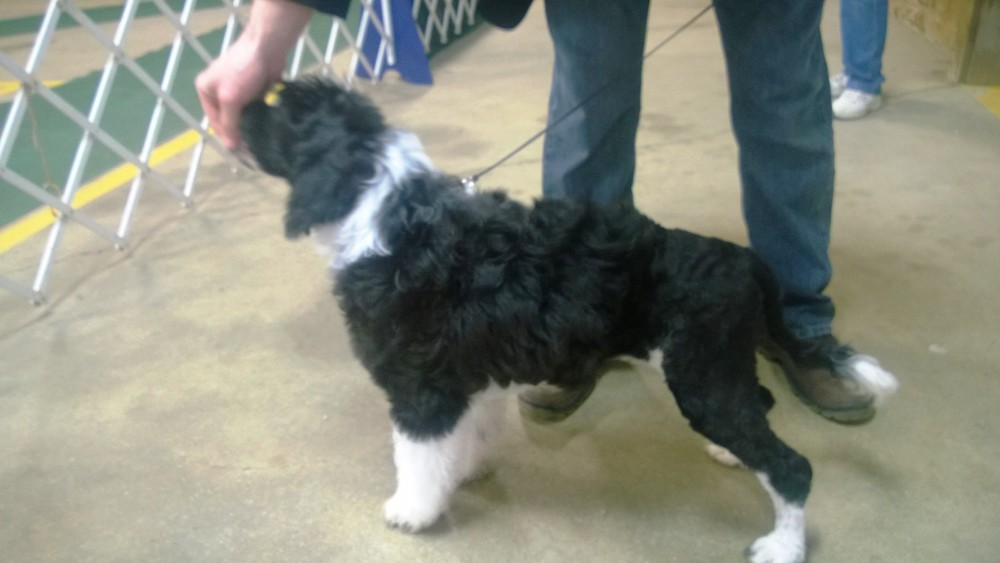 Nysa first dog show 4 months.jpg