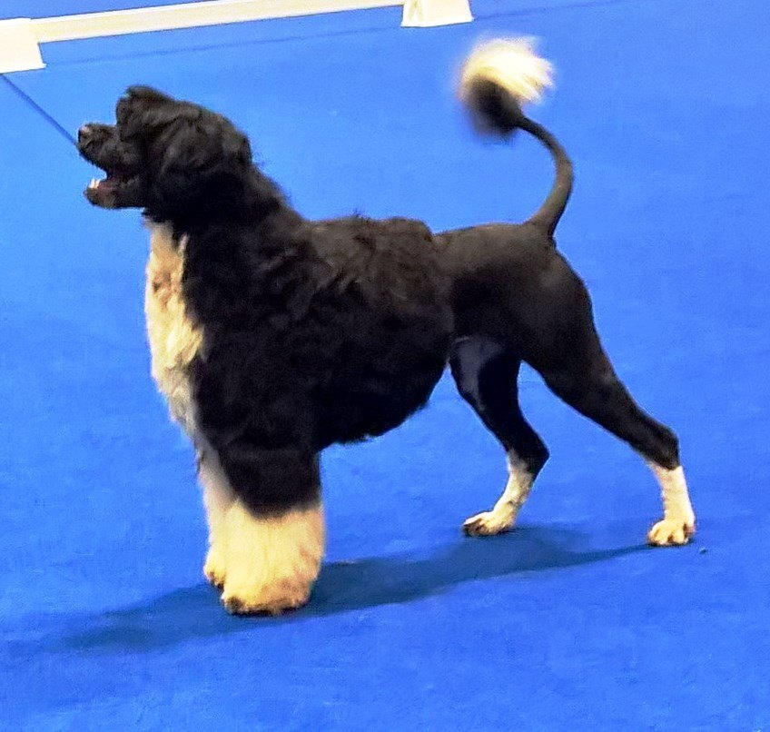 Minnie at 2015 Eukanuba