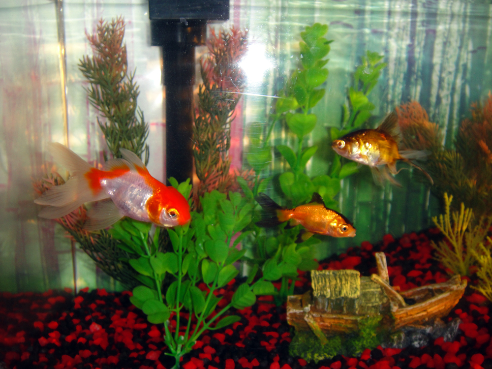 These are my awesome fish Bert, Roxy, and Ke$ha. Actually Ke$ha is Kyle's but theyr'e all a family so i'm not gonna divide them. They used to have a brother named Pepe, but he sadly passed away….RIP