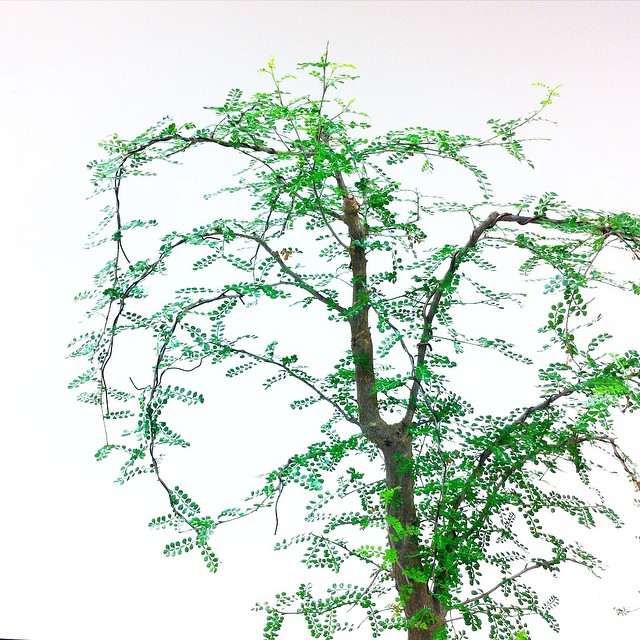 Bonsai among white. #bonsai #nature #tamed #Miniature #tree #Madagascar #ElephantTree #StopYulin2015