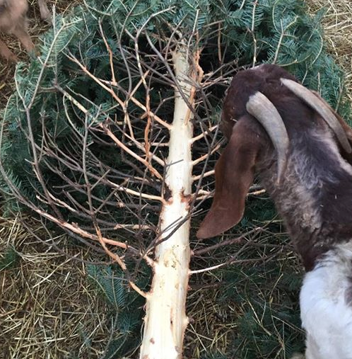Our goats eat the needles and strip the bark.