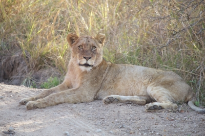 This is a young lion that I was able to take a picture of while on safari in South Africa. Incredible.