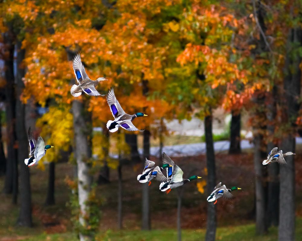 SR Ducks-1.JPG