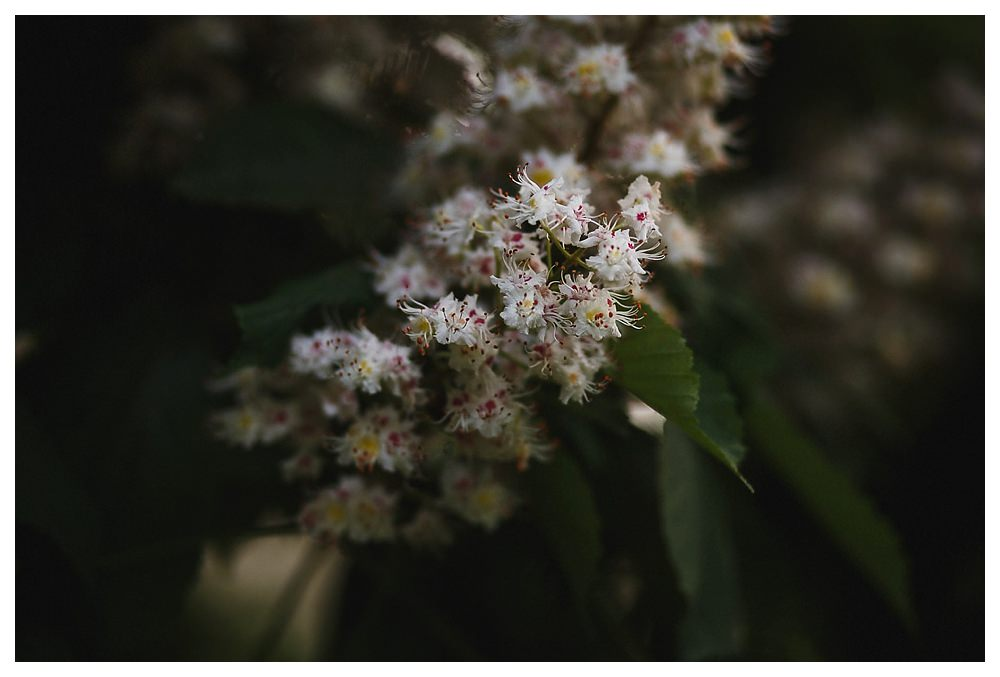 The fragrant smells of the white and pink flower capture the last light of the day in the park downtown Toronto.