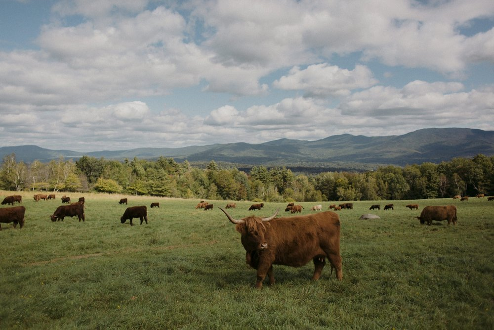 Vermont cows at Trapp Family Lodge wedding.