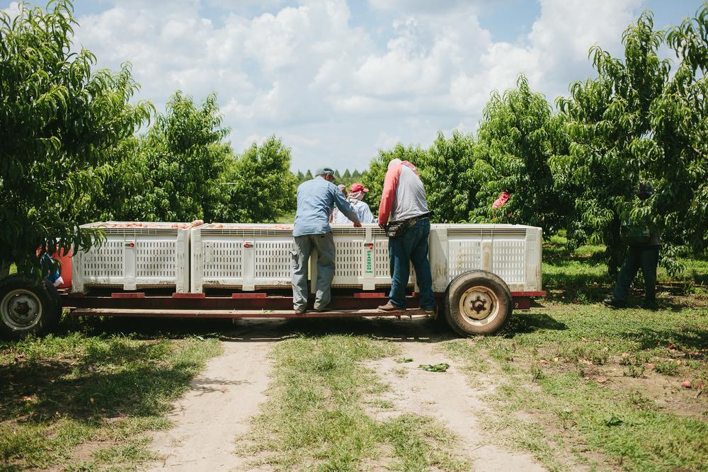 Pearson farms emily blincoe for Lincoln motor company lincoln maine