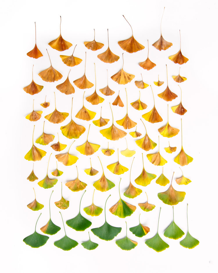 ginkgo leaves emily blincoe