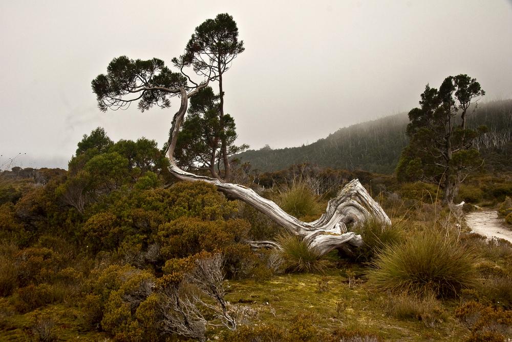 Overland Track gnarled tree.jpg