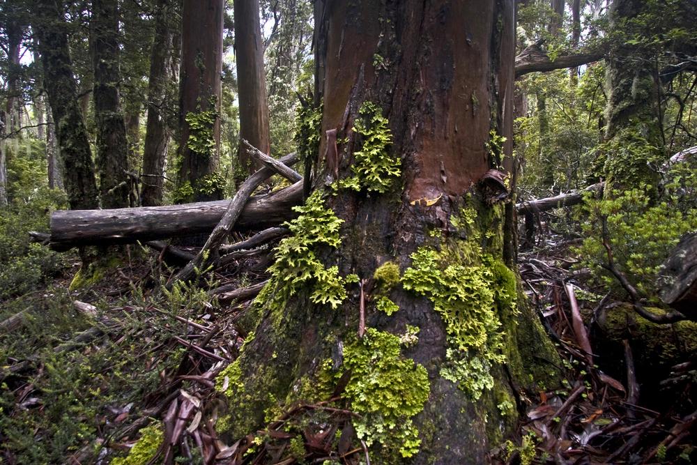 Overland Track tree trunk.jpg
