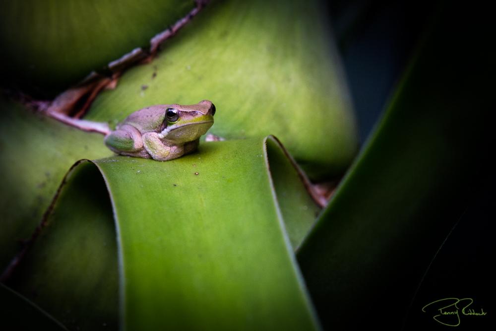 A Maleny Frog Penny Riddoch-1.jpg