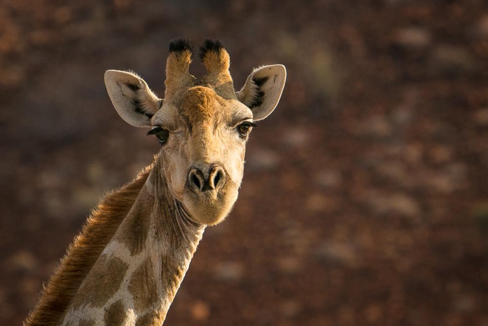 D Giraffe Namibia Penny Riddoch.jpg