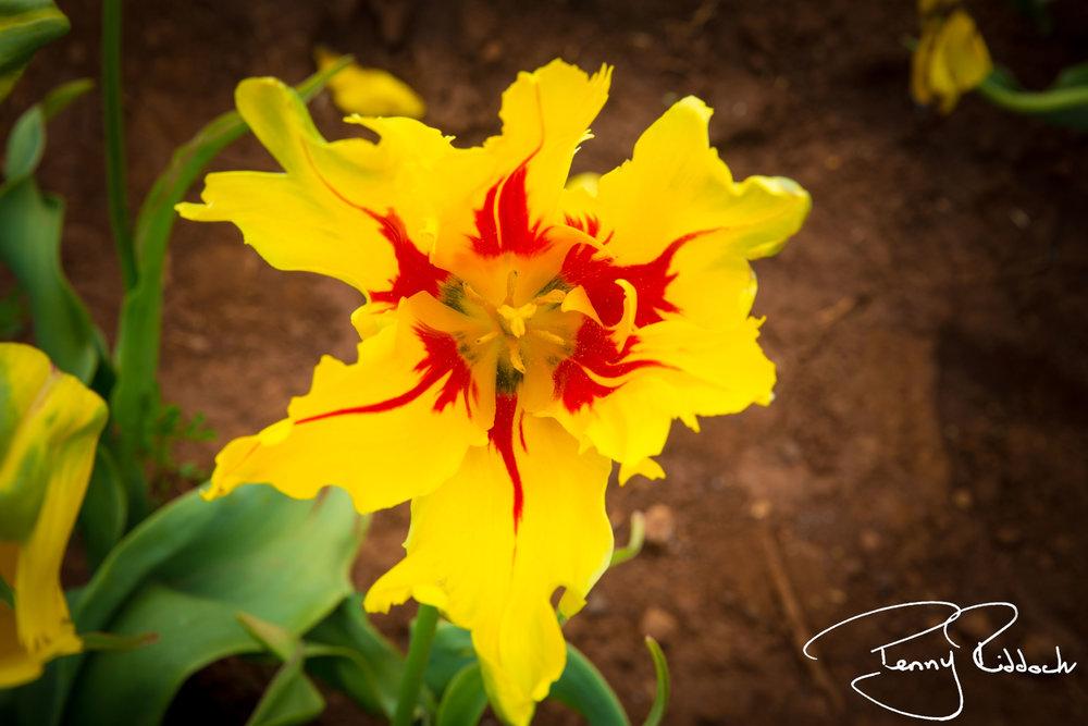 Penny Riddoch Photography Tulips Wynyard -2.jpg