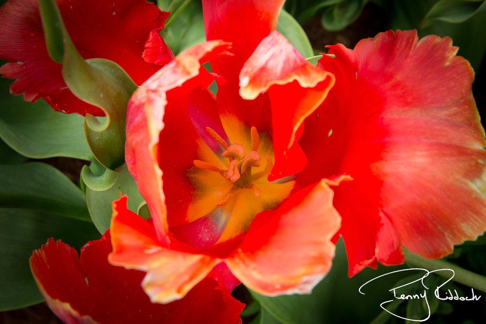 Penny Riddoch Photography Tulips Wynyard -3.jpg