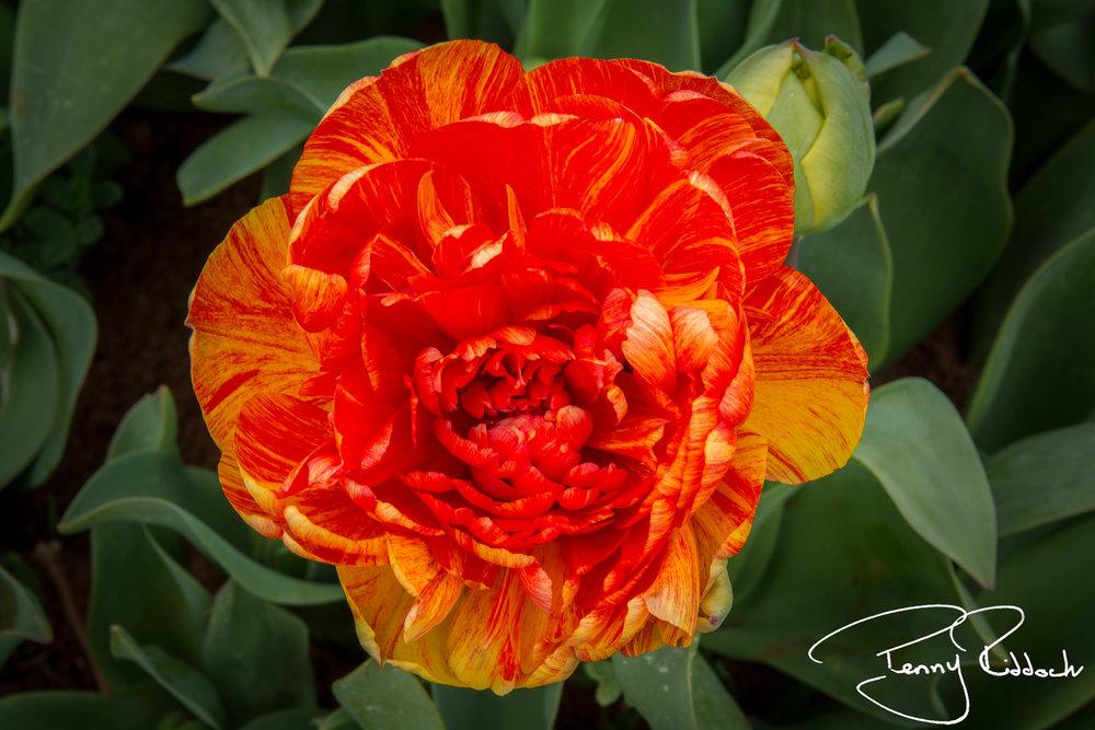 Penny Riddoch Photography Tulips Wynyard -5.jpg