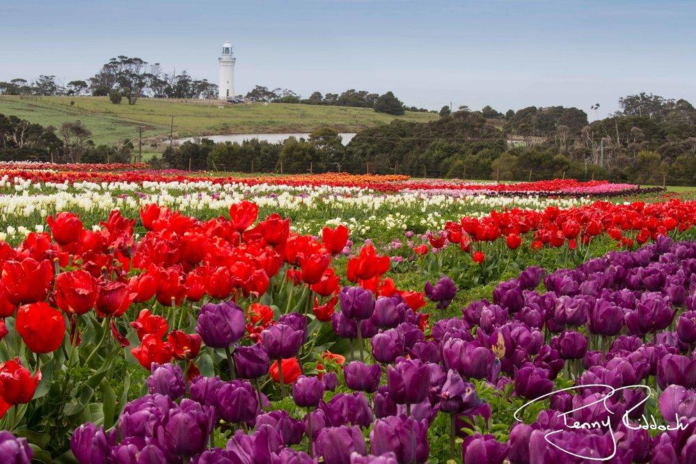 Penny Riddoch Photography Tulips Wynyard -9.jpg