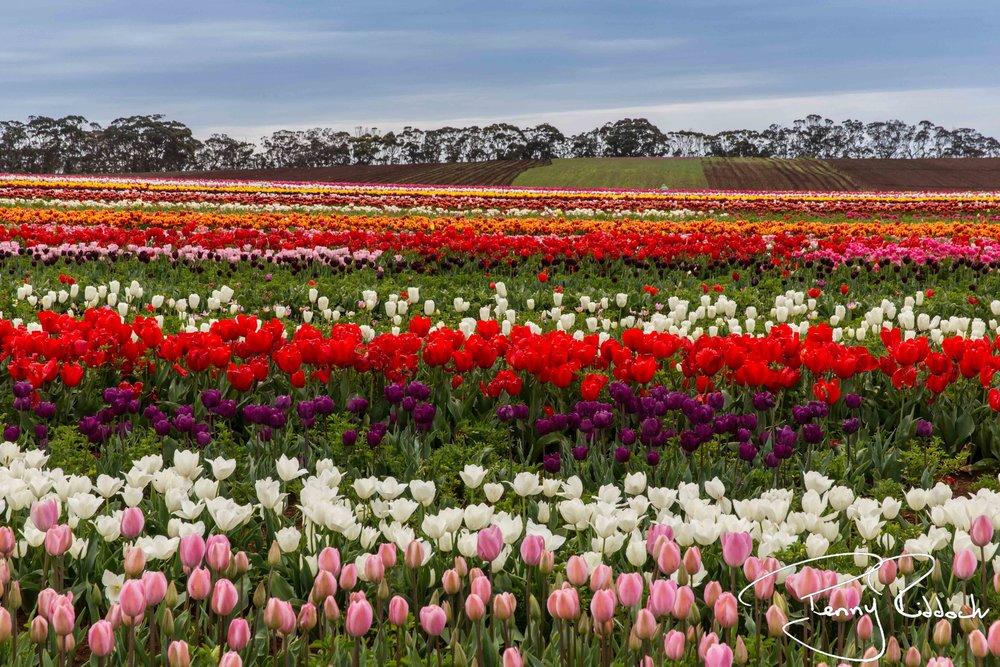 Penny Riddoch Photography Tulips Wynyard -7.jpg