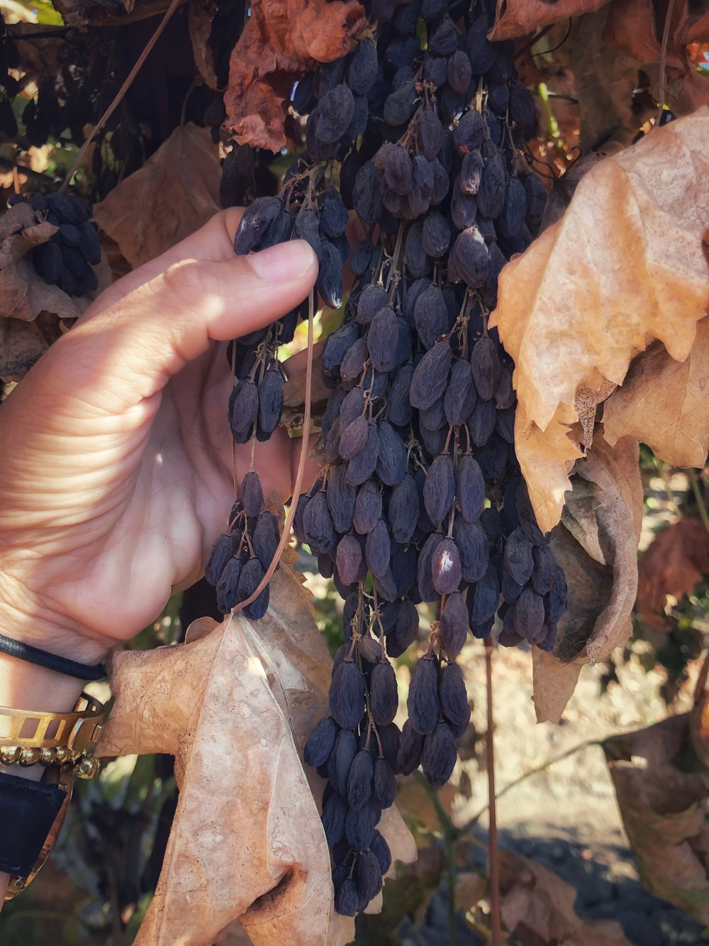 Where our food comes from: Raisins drying on the vine. www.ChefShayna.com