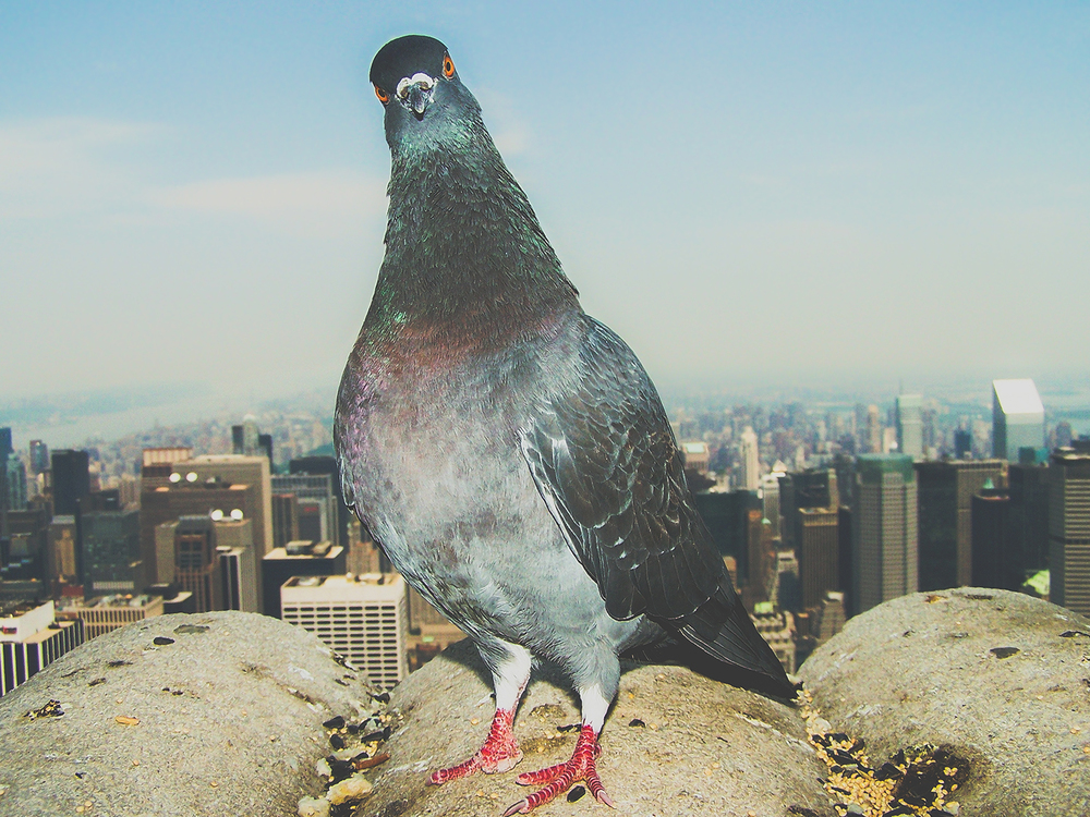 NYCbird-1500px.jpg